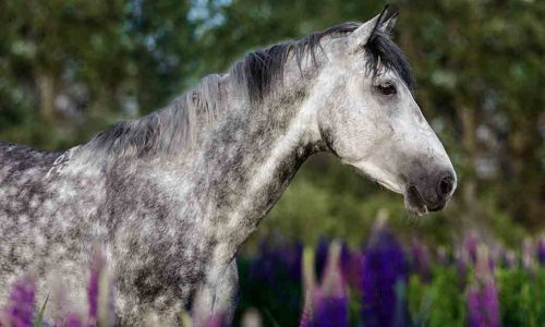 Portrait of a purebred Arabian horse among lupine flowers.